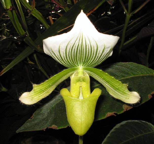 Paphiopedilum-Maudiae.jpg