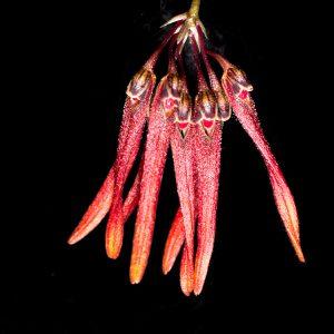 Bulbophyllum farrei