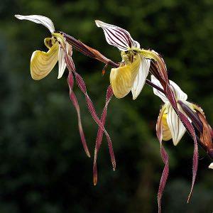 Veckans orkidéer: Venussko