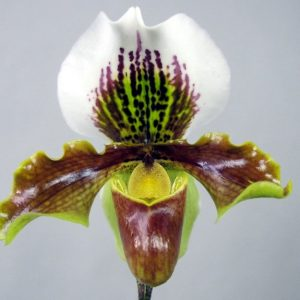 Paphiopedilum-Amerikansk-Hybrid