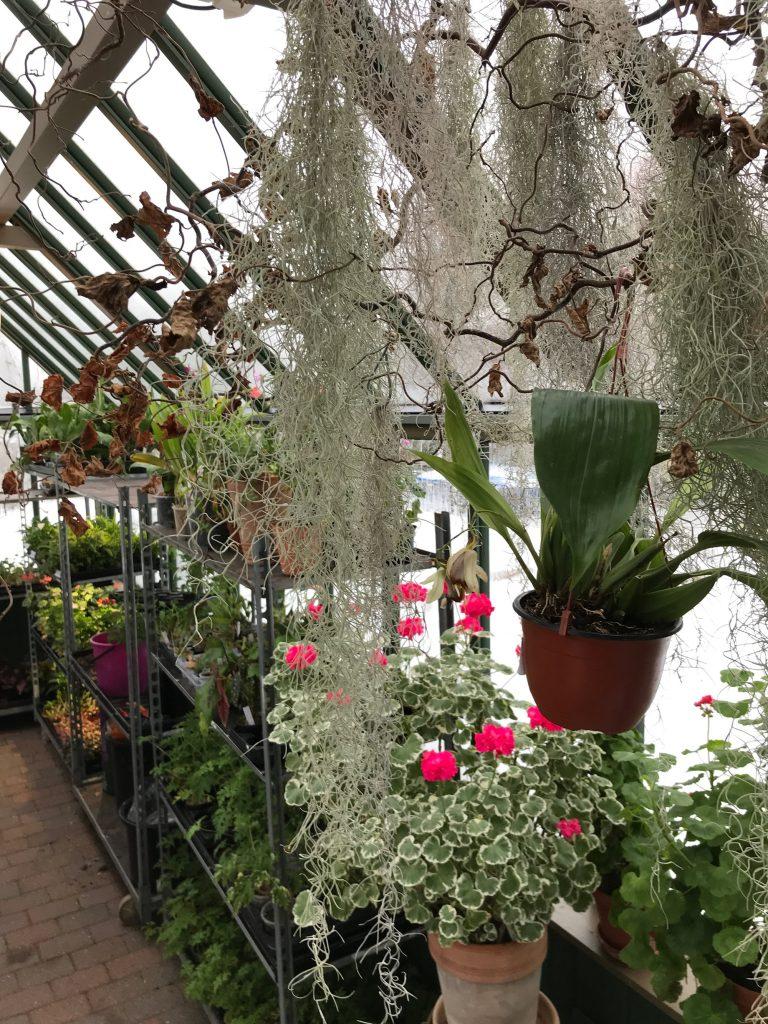Inne i växthuset med Tillandsia, Pelargoner och Orkidéer