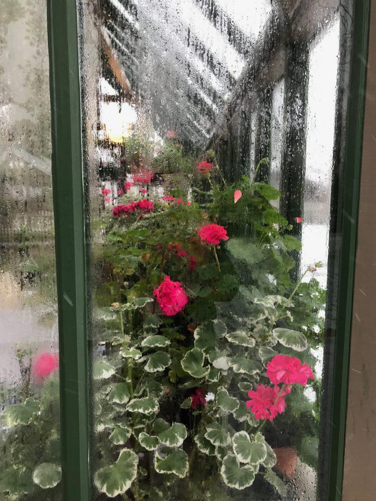 Tittar in i växthuset, ser Pelargon Platinum